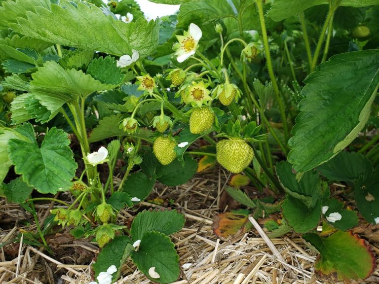 Strawberry Update!